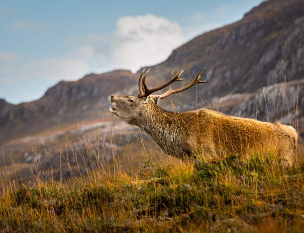 Stag in Torridon (©Leading Lines)