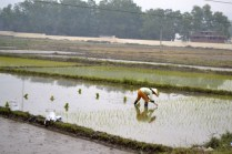 Vietnam rice farm