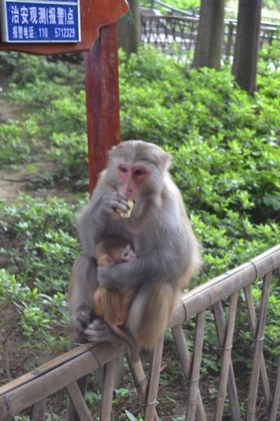 Zhangjiajie monkey