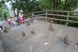Zhangjiajie monkeys