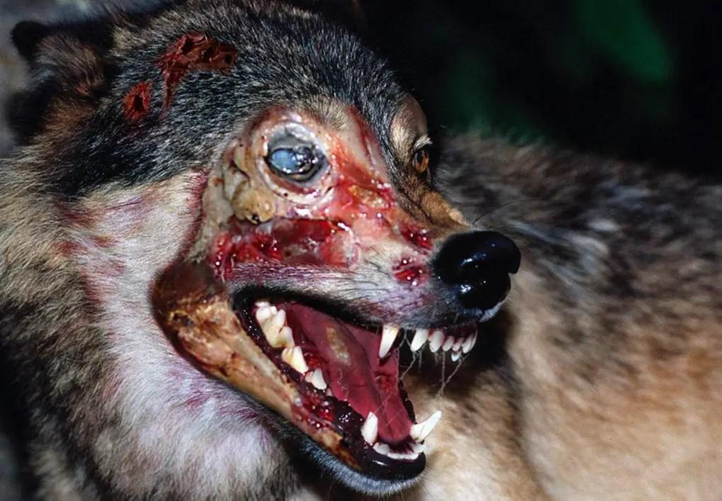 the-walking-dead-episode-509-zombie-wolf