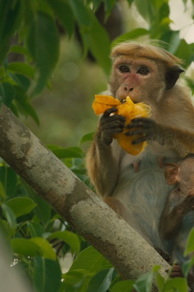 Disneynature's MONKEY KINGDOM