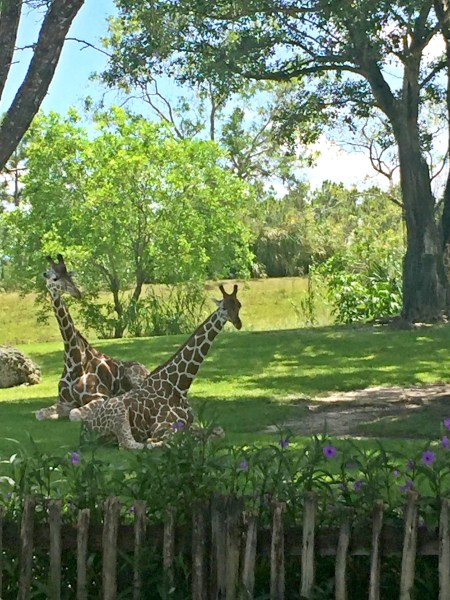 giraffes in the miami zoo. See more adventures and things to do in miami over at adventures of b2
