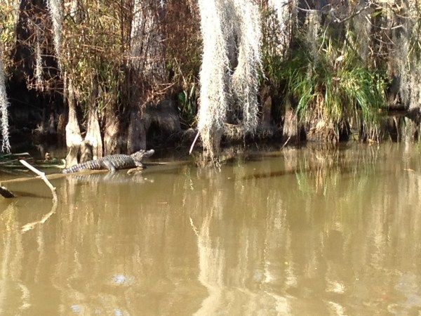 On a swamp tour, you can see alligators hanging out on a log.
