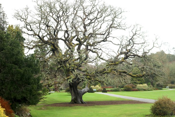 A fascinating tree at the Muckross House. A beautiful stop on the way around the Ring of Kerry in Ireland. - Adventuresofb2.com