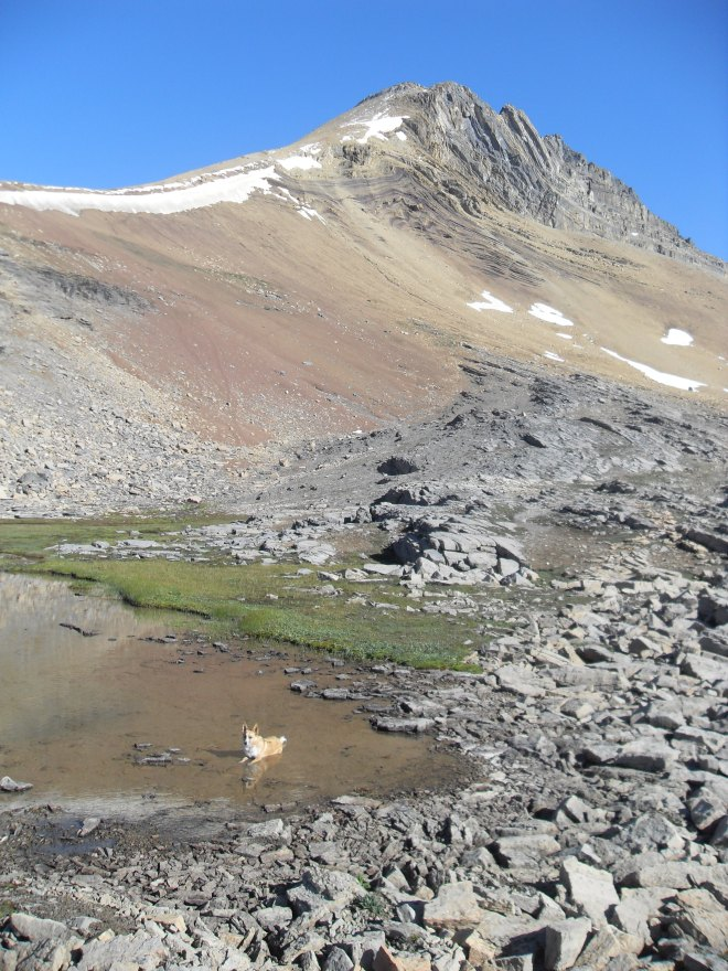 "Now N of Dolomite Pass, Lupe cools off in ""Gnat Pond"" at the base of Cirque Peak."