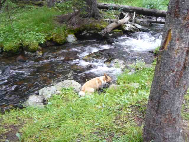 Lupe in Merle Creek, Bighorn Mountains of Wyoming, 8-5-14