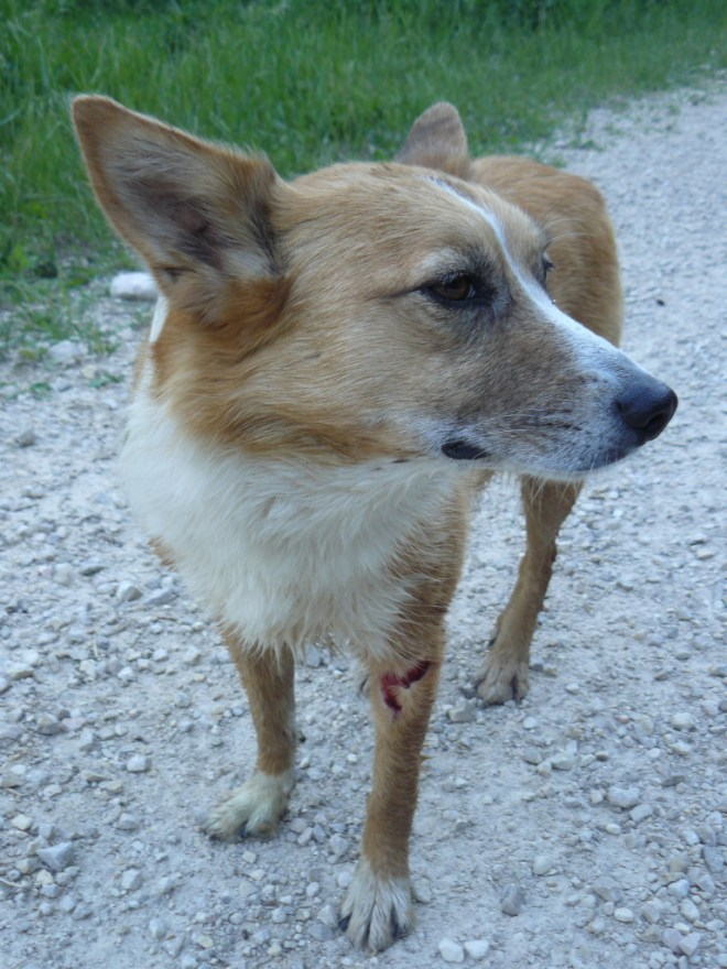 Lupe on South Rapid Creek Road (USFS No. 231) with a nasty gash from a fallen barbed wire fence in nearby Trebor Gulch. The heroic dingo partly walked and was partly carried by SPHP to Black Fox campground to find help.