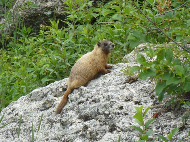 Marmot along the trail.