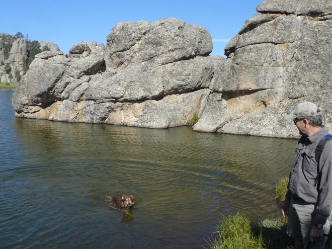 Dusty takes a dip while retrieving a stick for Joe.