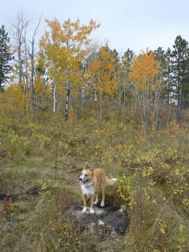 Although the fall colors are mostly past their prime already, Lupe did come to some stands of aspens that still looked pretty nice.
