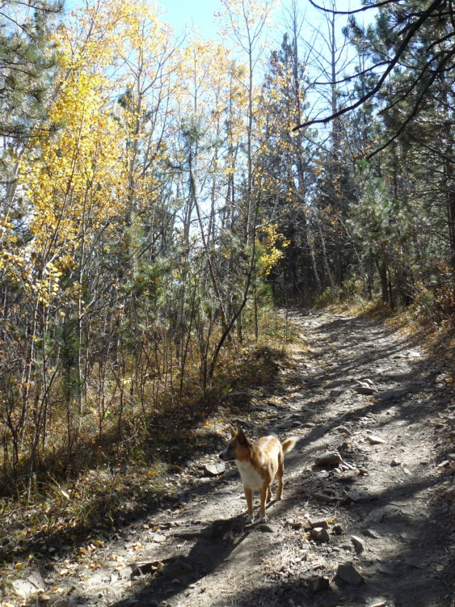 The fall colors are virtually done now in the Black Hills, this small stand of aspens along USFS Road No. 238, was the best remaining example Lupe found on her way to Castle Peak.