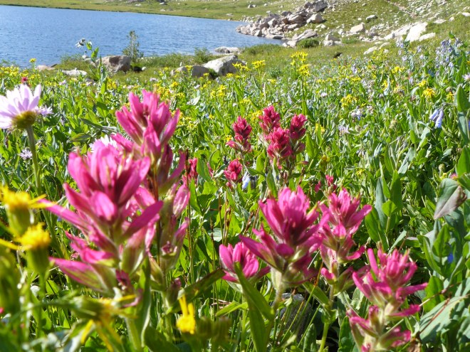 Wildflowers near Becker Lake, Beartooth Mountains, WY 8-11-12