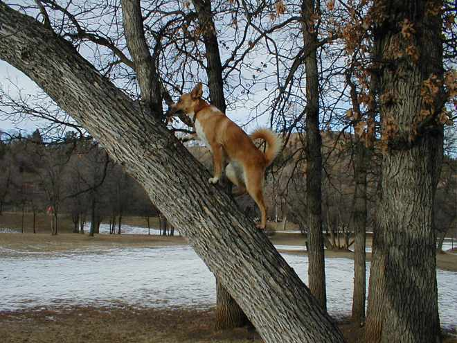 Carolina Dogs can, too, climb trees! Comin' for ya Squirrel!!!