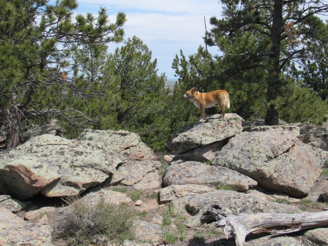 Although there were partial views to the S and SW, not much could be seen to the N except trees. Here Lupe is on the highest rock on Markley Hill. Photo looks NNE toward the forest.