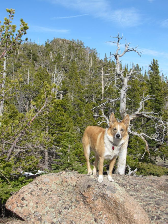 Lupe back down to the area W of Warbonnet where SPHP had earlier mistakenly thought she was near High Point 9223. The top of Warbonnet Peak (NOT High Point 9223) is partially hidden in the trees behind her. (Photo looks E.)