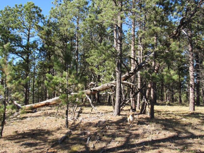 The Elkhorn Divide summit area. A huge dead pine tree had fallen over toward the E, but gotten hung up on other trees before hitting the ground. Photo looks N.