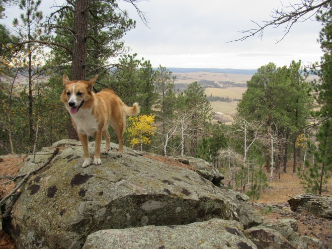 Lupe up on a boulder with a view to the WNW. Her fur is being blown by a strong wind from the SW.