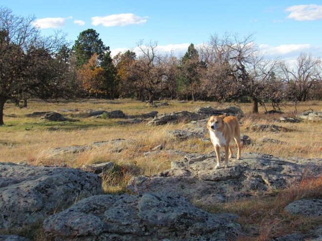 Back in the wind, not far from her windbreak, Lupe stands on low rocks strewn across the NE edge of the huge field. Beyond is a mixed forest of scrub oak and pine. Photo looks NW.