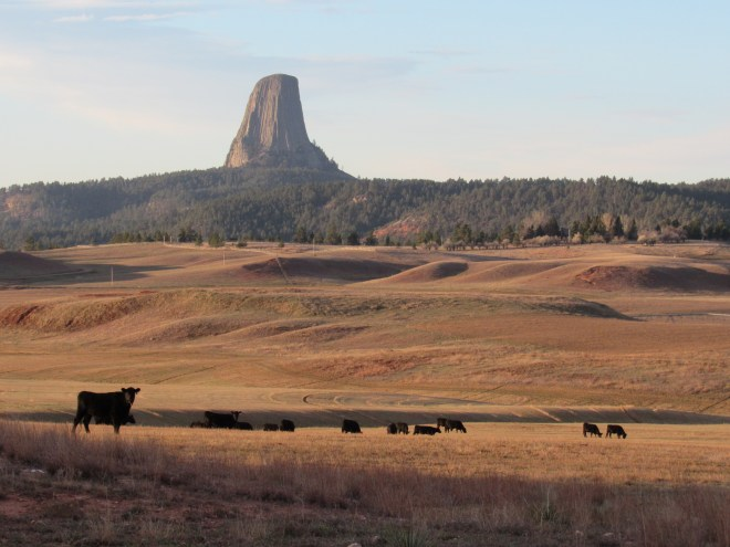 Looking S at Devil's Tower from Barlow Canyon Road. Lupe loved this view. Not for the big rock in the distance. All those beautiful black cows were what caught her fancy!