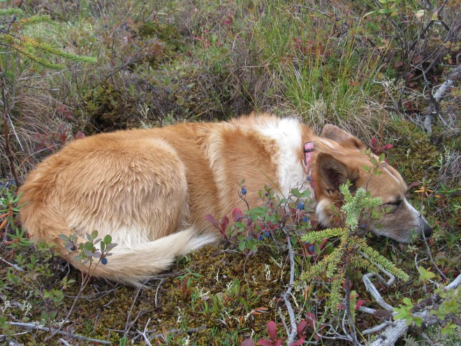Lupe dozing on the soft tundra among the wild blueberries.