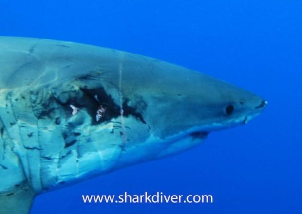 Great white shark shows amazing healing power | Adventure