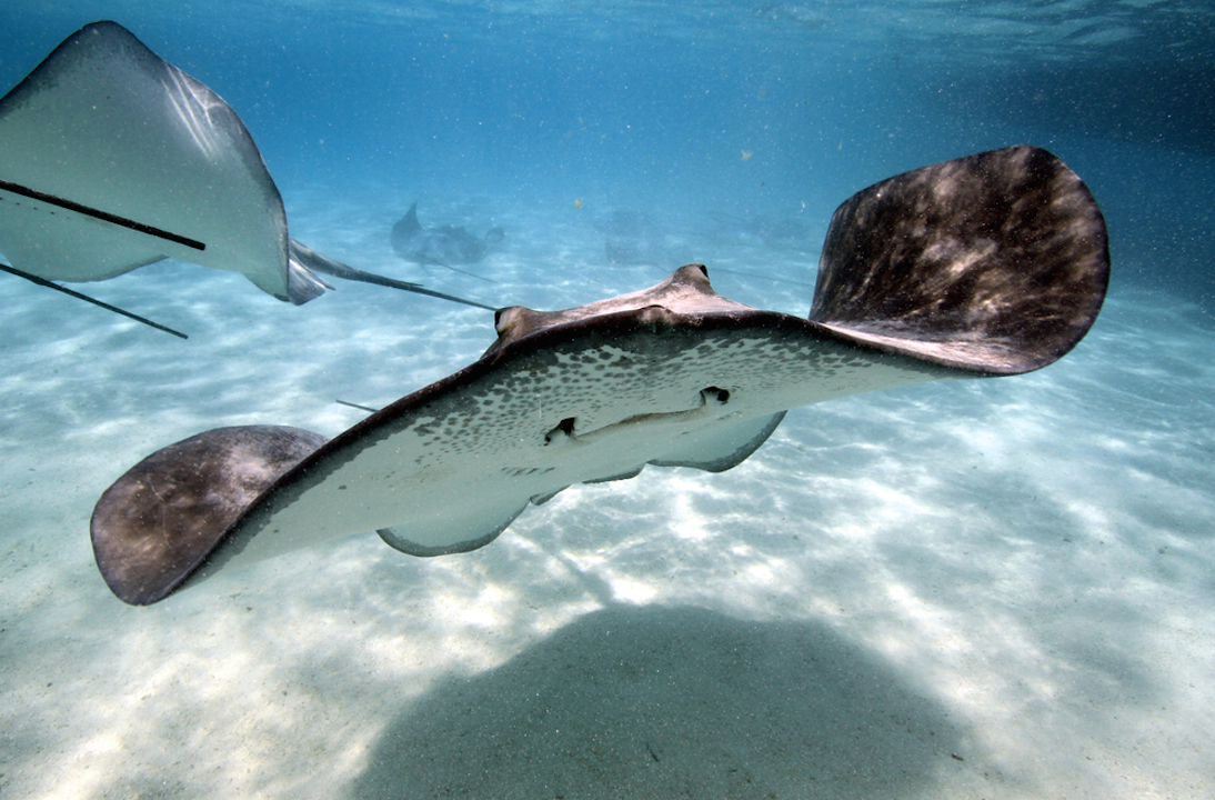 Stingray stings can be painful but are avoidable and