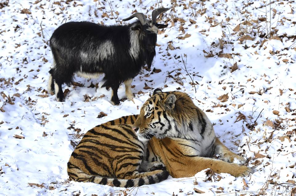 A siberian tiger and goat being friends before dating