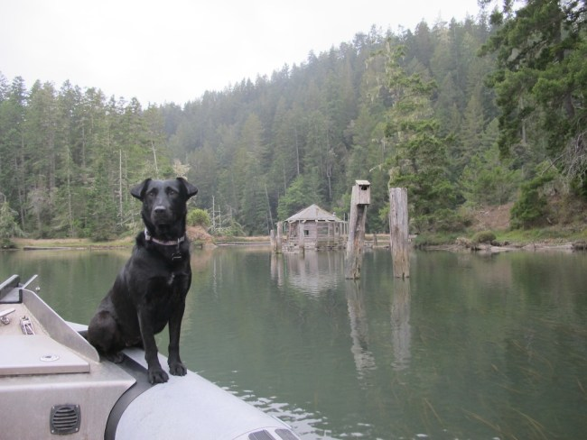 My dog Willow standing on the bow of a zodiac boat on the Albion River