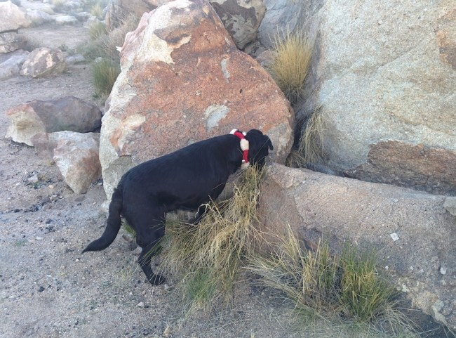 "dog standing and ""pointing"" at some hidden crtitter in the rocks"