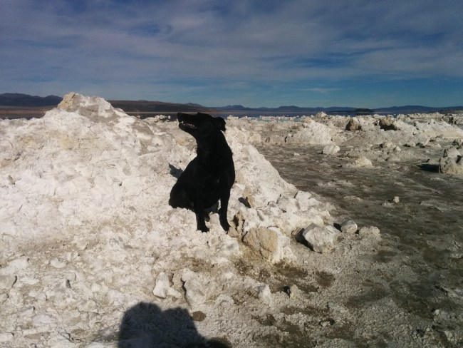 Black dog watching a tern fly overhead as it sits on the white salt of Mono Lake