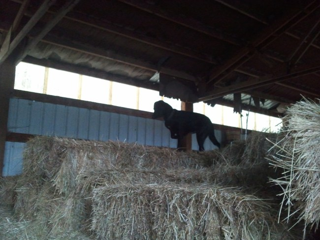 Dog on top of a pile of hay bales