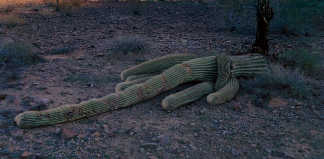 Large saguaro cactus knocked over on the ground