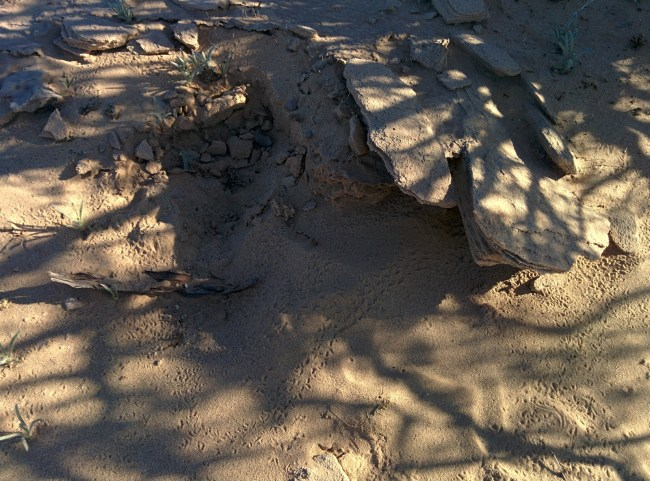 probable scorpion den and tracks