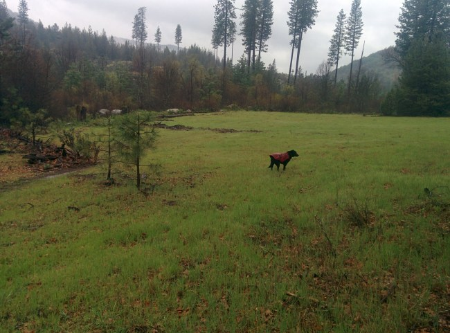 Willow in her ruffwear coat in the middle of a green, moist meadow during a rain shower