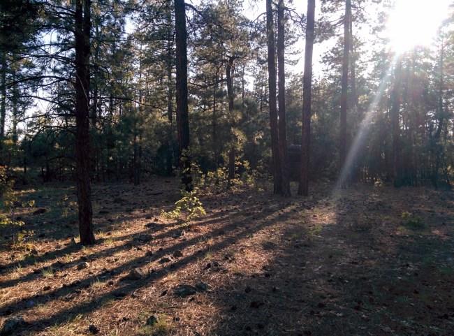 Sunlight Through The Pine Trees