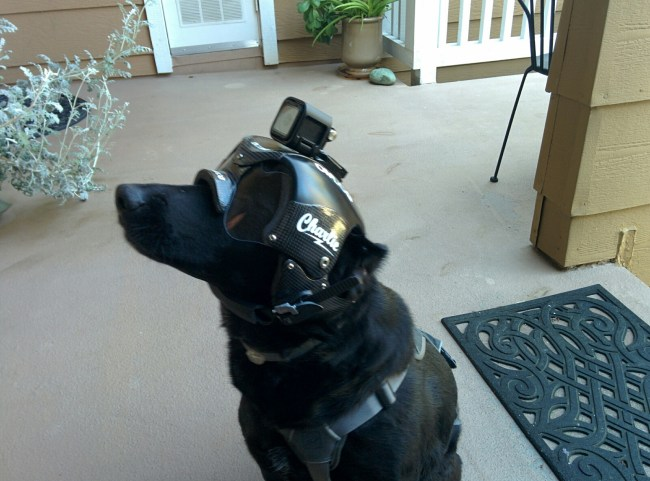 Willow in a carbon fiber helmet prototype made for a pit bull friend of hers