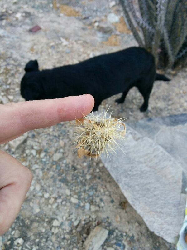 bit of cholla catus stuck to my finger