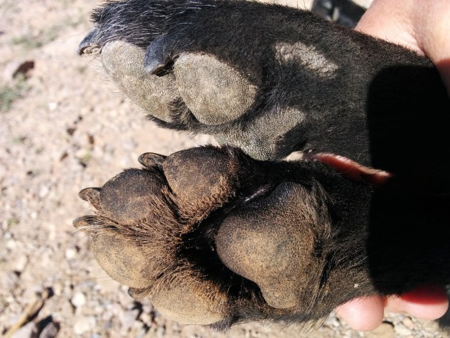 Untreated Paw (Top) vs Treated Paw With Collected Dirt