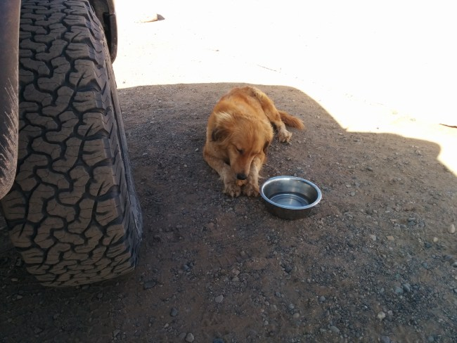 Res dog stray eating a dog treat in the shade next to my Tacoma tire