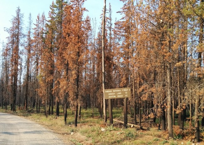 Browned and burnt trees line the road