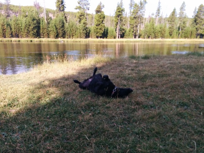 Willow rolling around on the grass after a swim in the Firehole river