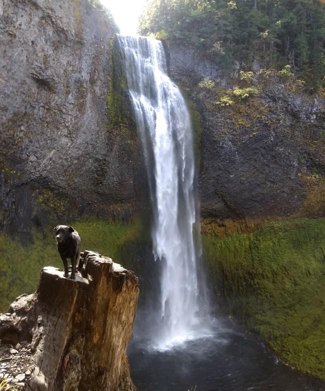 Willow on a stump near the base of Salt Creek Falls