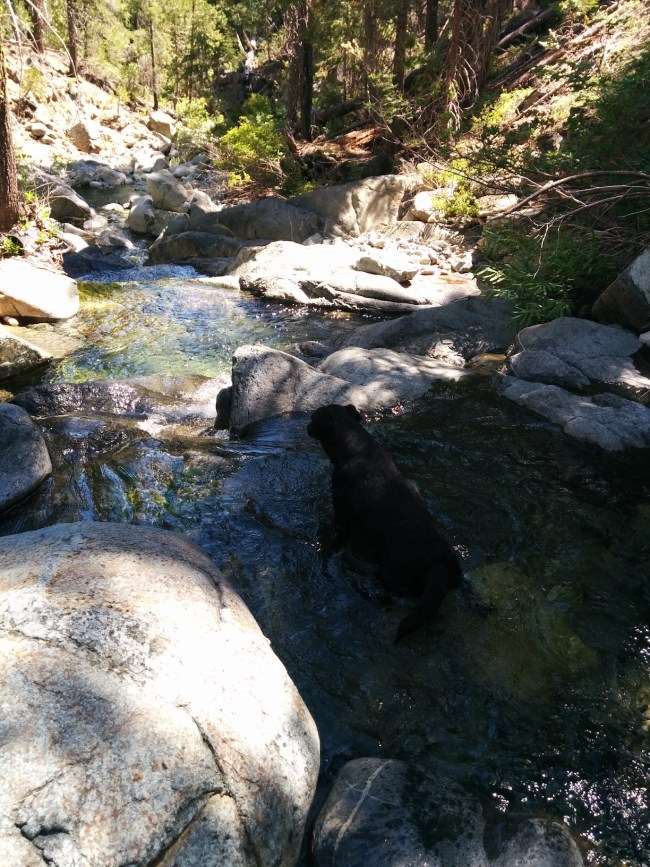 Willow wading in a small pool in Casle Lake Creek