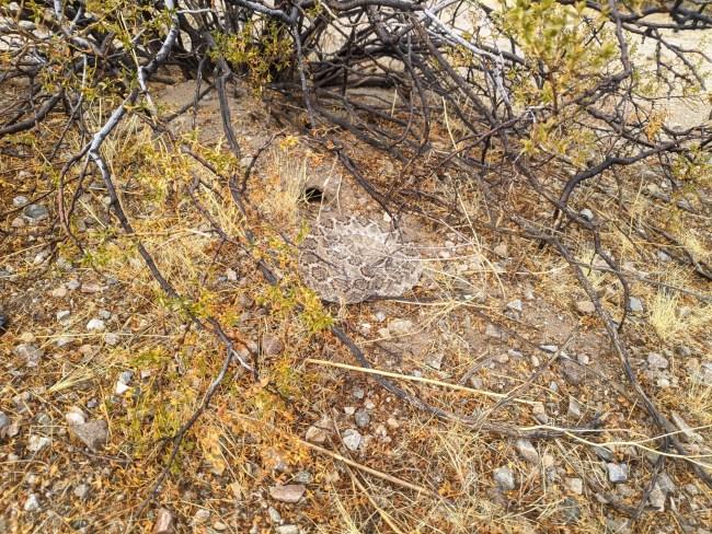Rattlesnake curled up under a bush
