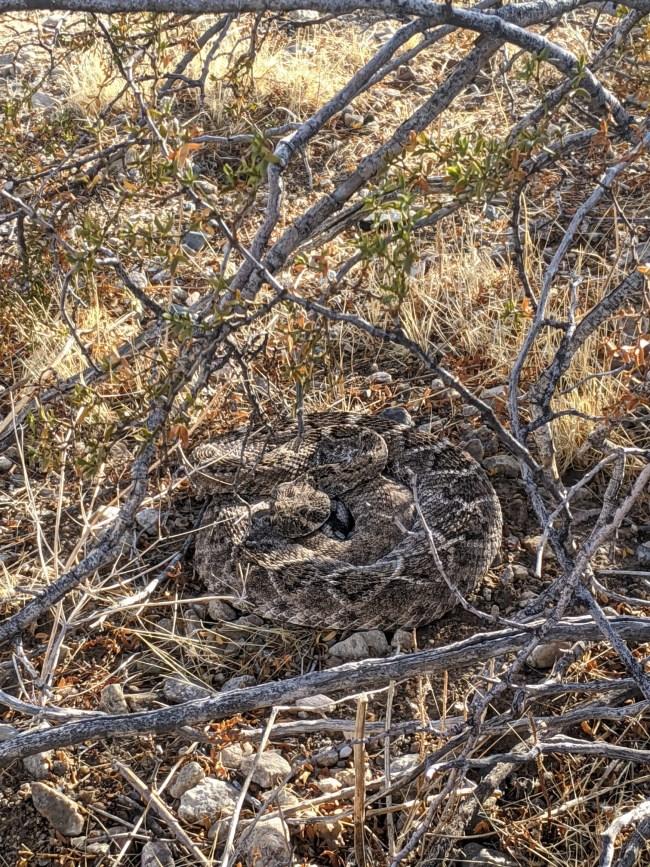 Rattlesnake stiil curled under the bush