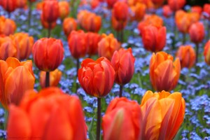 Fiery Red and Orange Tulips Light up Butchart Gardens