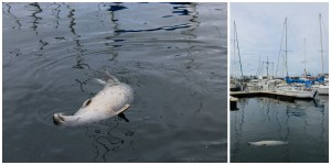 My Spirit Animal, a Lazy Seal on his Back at Fisherman's Wharf, Victoria B.C.