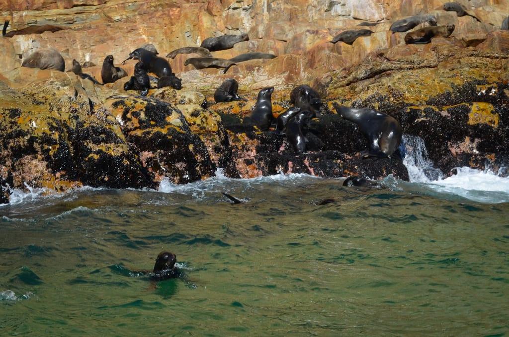 Seals in Plettenberg Bay