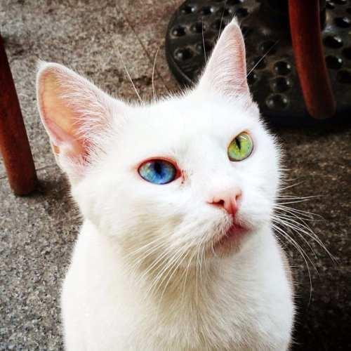 Van Cat, Istanbul